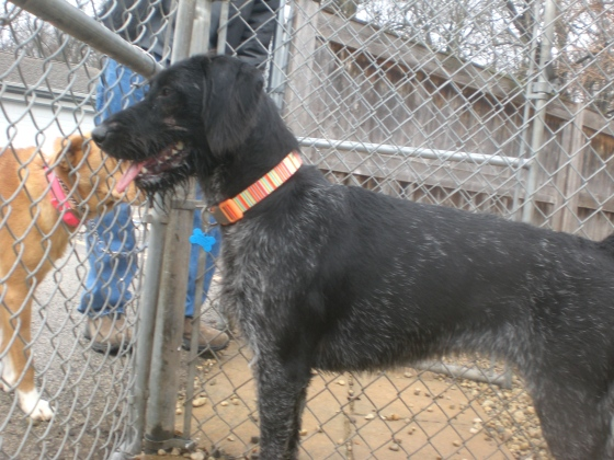 Jordan German Wirehaired Pointer mix 2