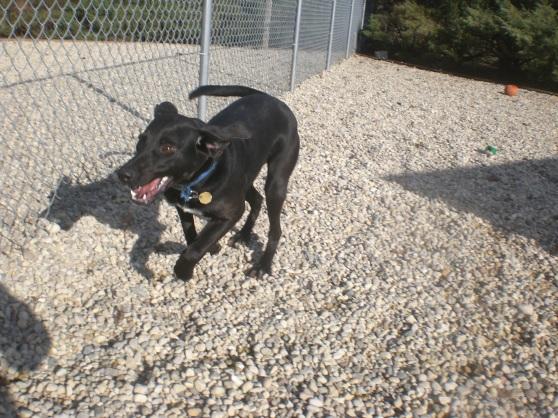 Bogie Black Labrador Retriever mix 1