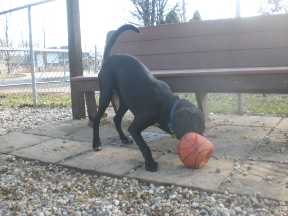 Bogie Black Labrador Retriever mix 2