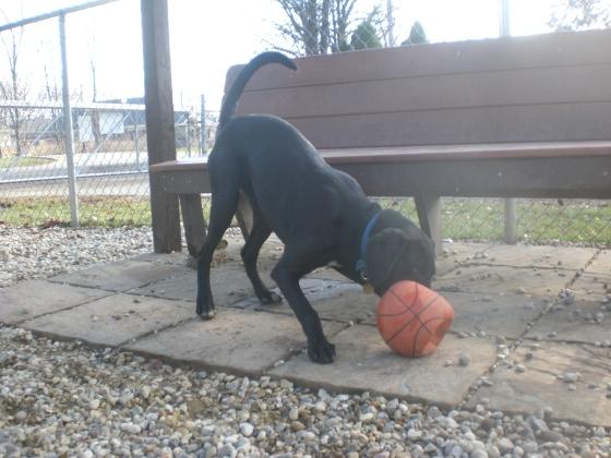 Bogie Black Labrador Retriever mix 2
