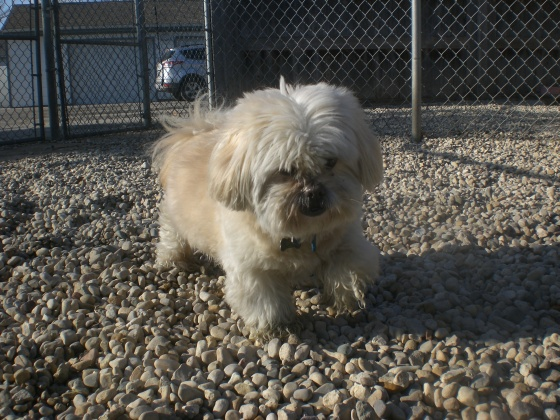 Willow2 Lhasa Apso mix 2