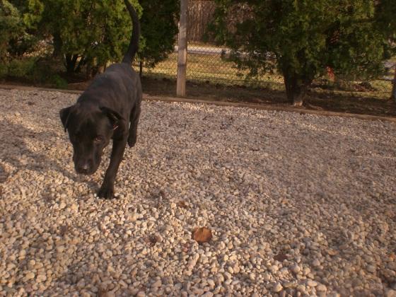Gordon Black Labrador Retriever 1