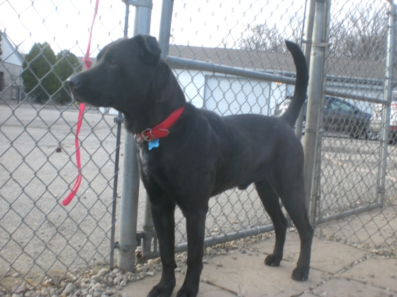 Gordon Black Labrador Retriever mix 2