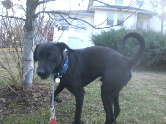 Yona Black Labrador Retriever mix 2