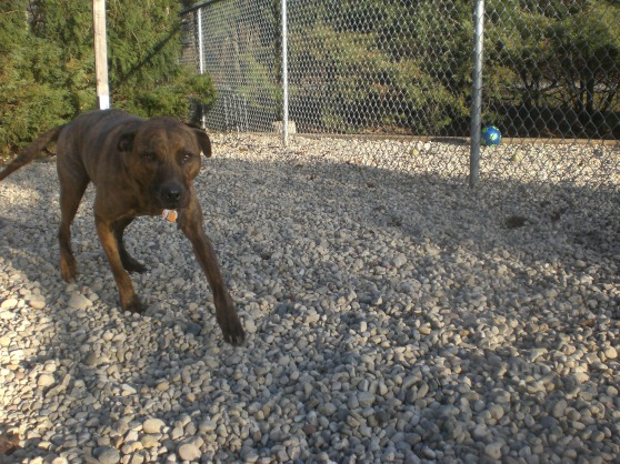 Joy Pit Bull Terrier mix 1
