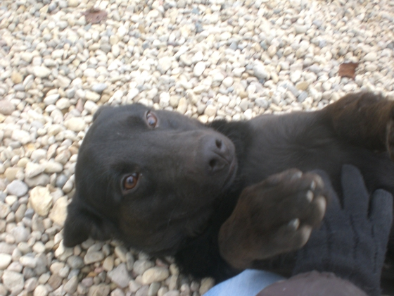 Wanda Black Labrador Retriever mix 2