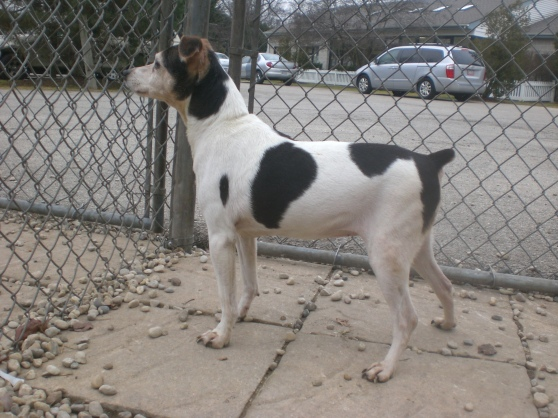 Daisy Jack Russell Terrier mix 1