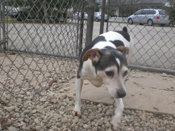Daisy Jack Russell Terrier mix 2