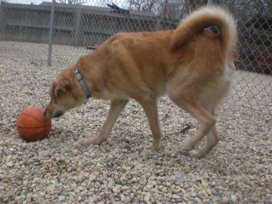 Buster Labrador Retriever Golden Retriever mix 2