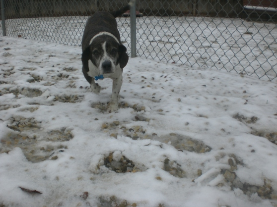 Utah Beagle mix 1