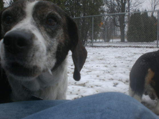 Utah Beagle mix 2