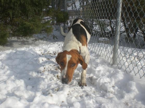 Lottie Treeing Walker Coonhound mix 1