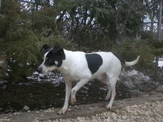 Jingles Rat Terrier mix 1