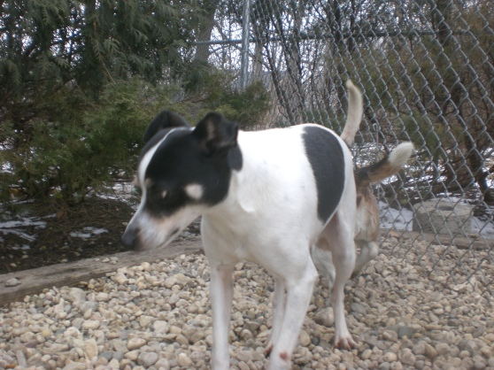 Jingles Rat Terrier mix 2