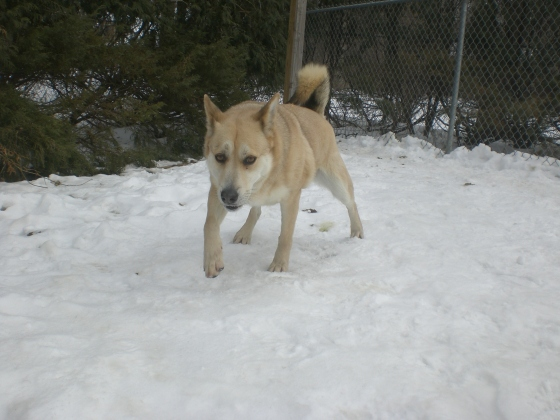 Sandy Husky mix 2