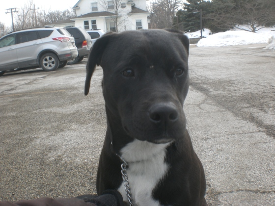 Belle Black Labrador Retriever mix 2