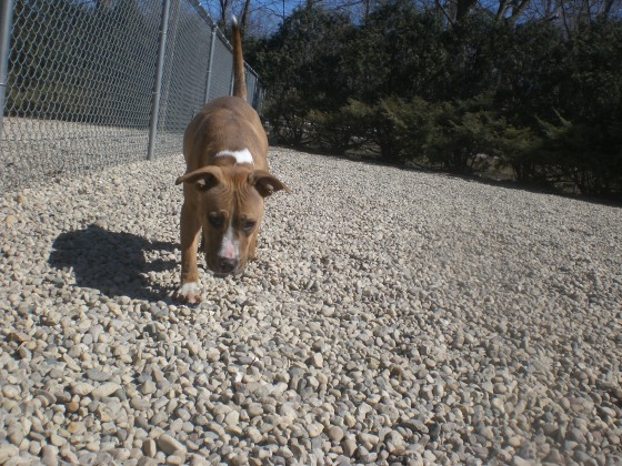 Nutmeg Pit Bull Terrier mix 2