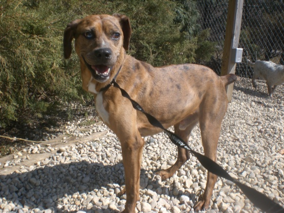 Rodney Catahoula Leopard Dog mix 1