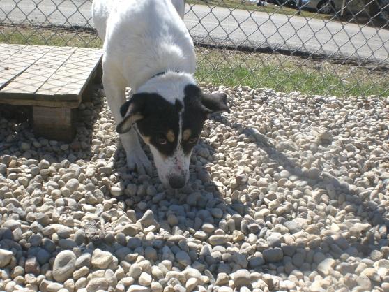 Heaven Jack Russell Terrier mix 1