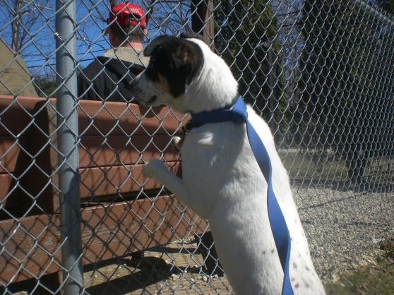 Heaven Jack Russell Terrier mix 2