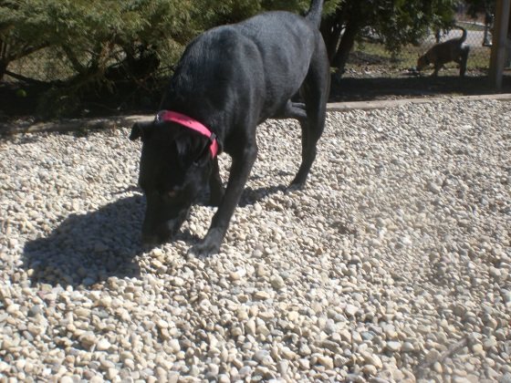 Jasmine Black Labrador Retriever mix 1