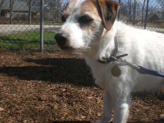 Sailor Jack Russell Terrier mix 2