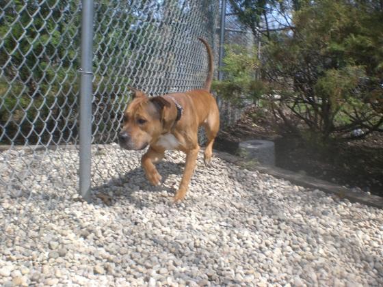 T-Bone Staffordshire Bull Terrier mix 2