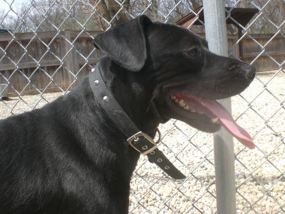 O'Shea Black Labrador Retriever Pit Bull Terrier mix 2