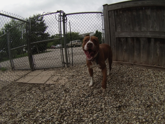 Red Staffordshire Bull Terrier mix 1