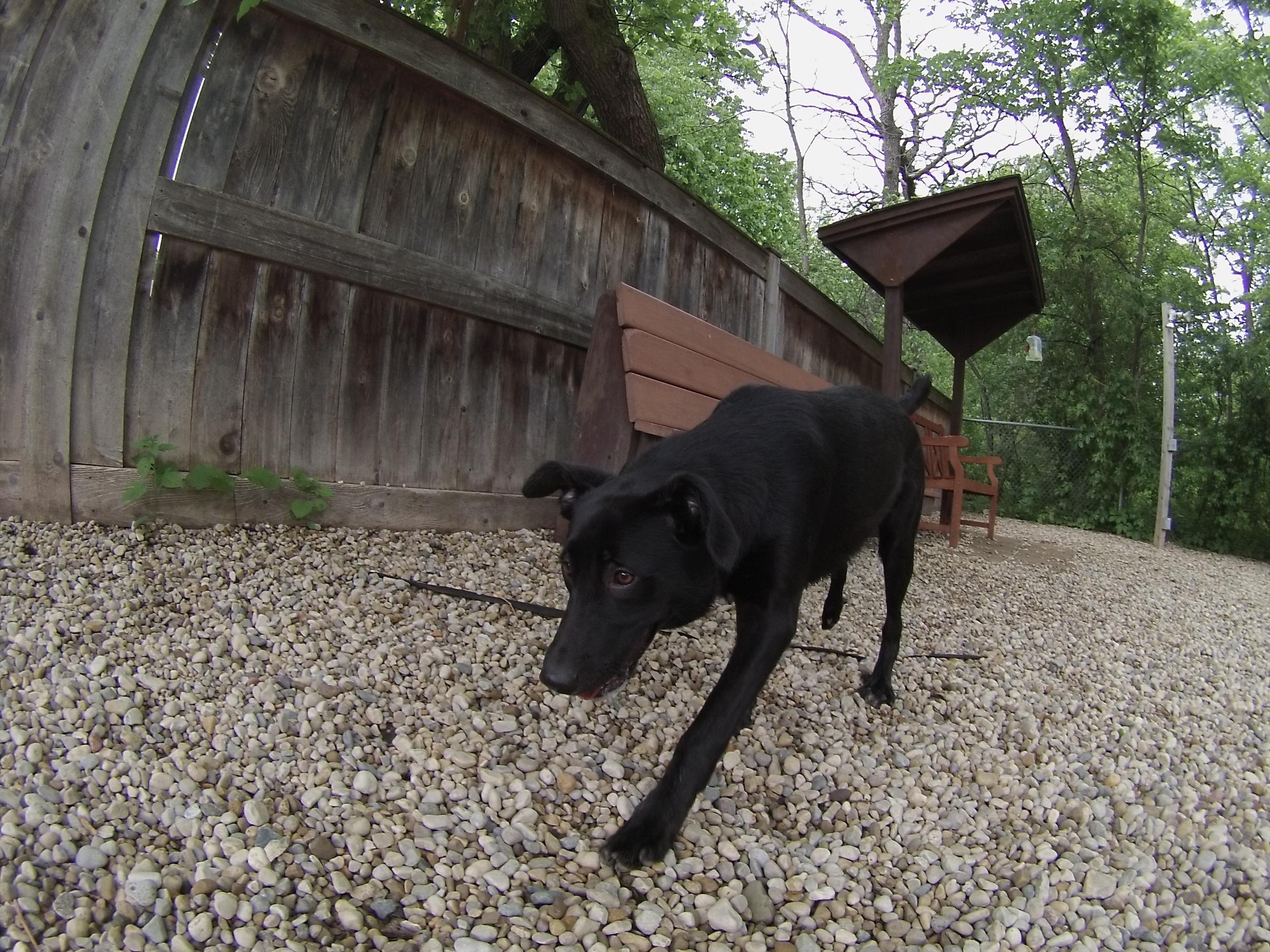 Brandy Black Labrador Retriever mix 2
