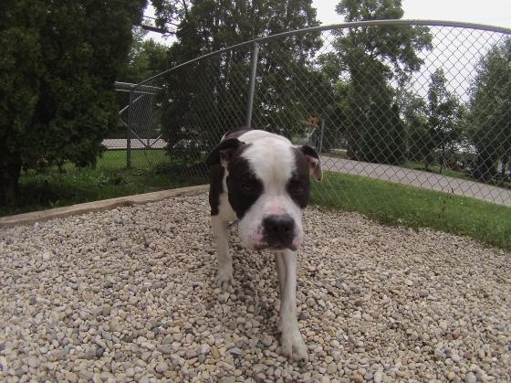 Rocky American Bulldog 1
