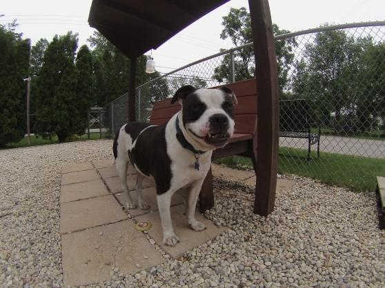 Rocky American Bulldog 2