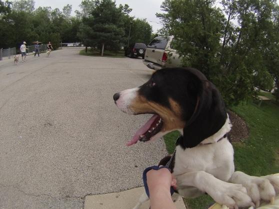 Franklin Treeing Walker Coonhound mix 1
