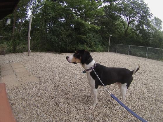 Franklin Treeing Walker Coonhound mix 2
