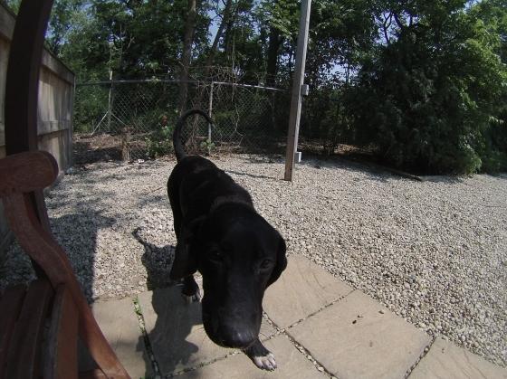 BeeWee Black Labrador Retriever mix 1