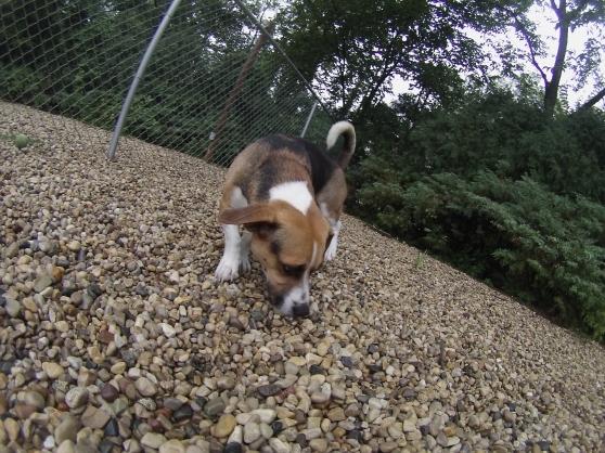 Marcus Basset Hound Beagle mix 1