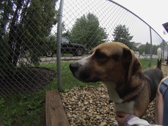 Marcus Basset Hound Beagle mix 2
