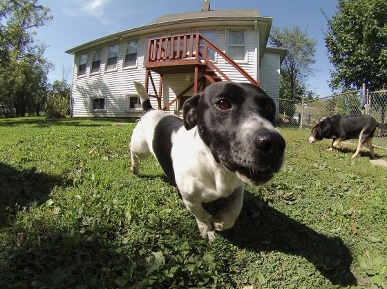 Spot Jack Russell Terrier Basset Hound mix 1