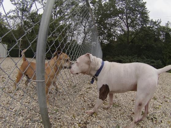Barney Staffordshire Bull Terrier mix 1