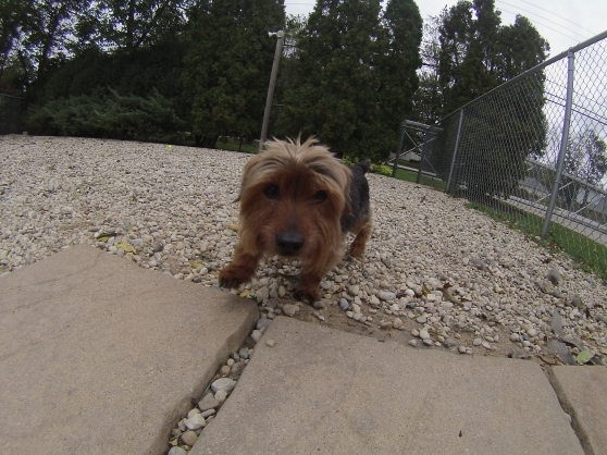 Gucci Yorkshire Terrier mix 1