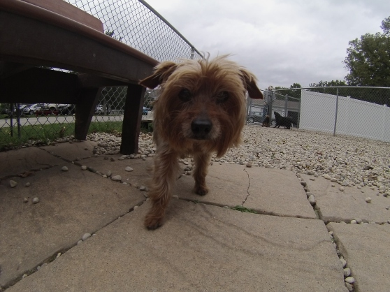 Chanel Yorkshire Terrier mix 2