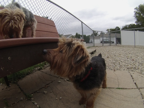 Gucci and Chanel Yorkshire Terrier mixes