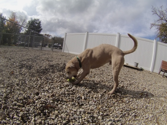 Axle Labrador Retriever mix 2