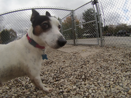 Fitz Jack Russell Terrier mix 1