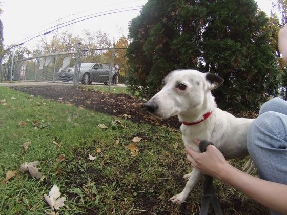 Fitz Jack Russell Terrier mix 2