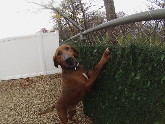 Old Red Redbone Coonhound 2