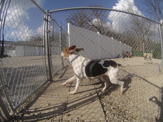 Hunter Treeing Walker Coonhound mix 2