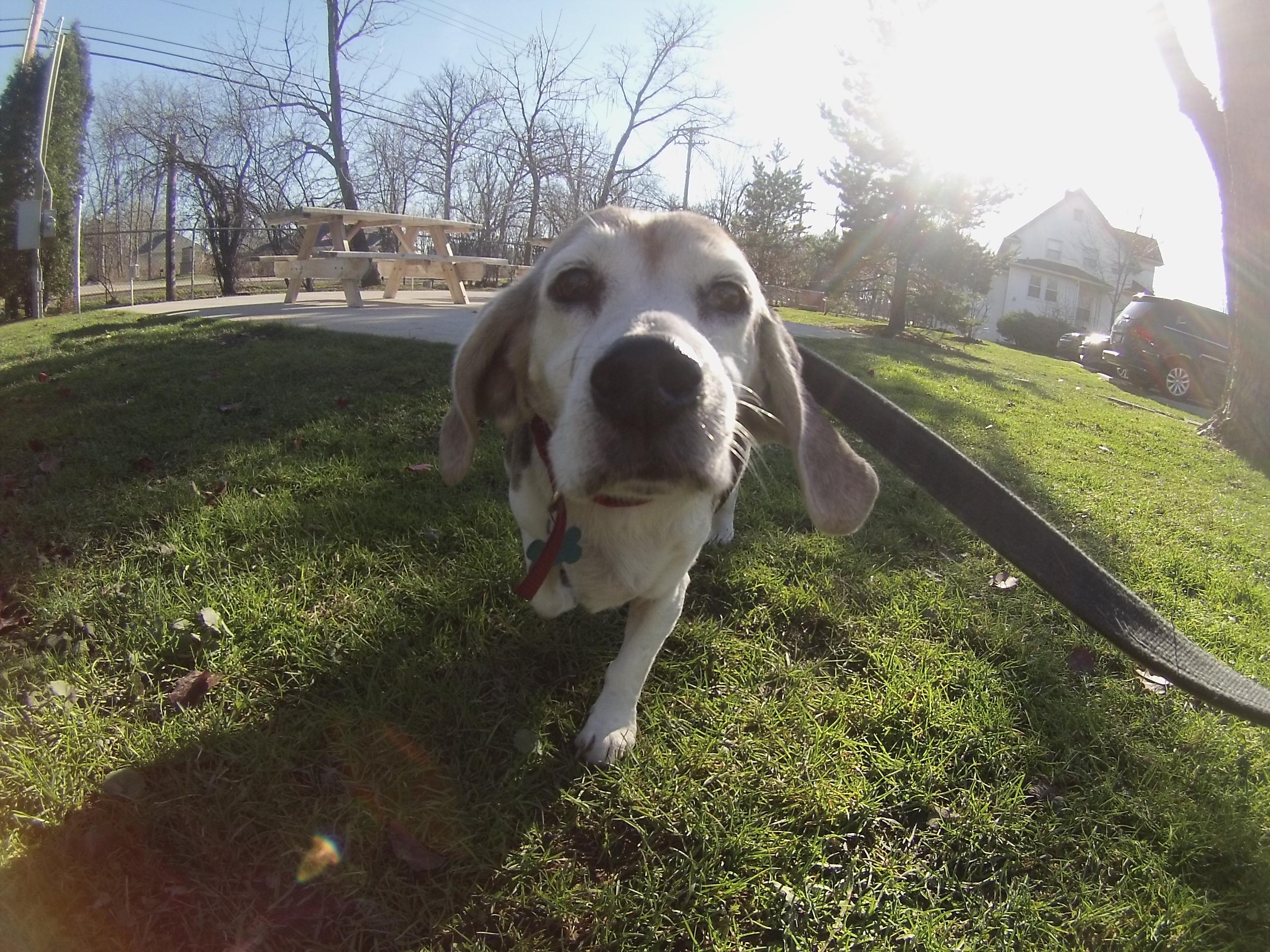 Tweetie Beagle mix 2