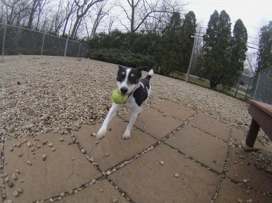Reggie Jack Russell Terrier mix 1