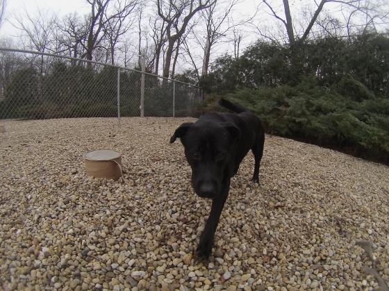 Coal Black Labrador Retriever mix 1